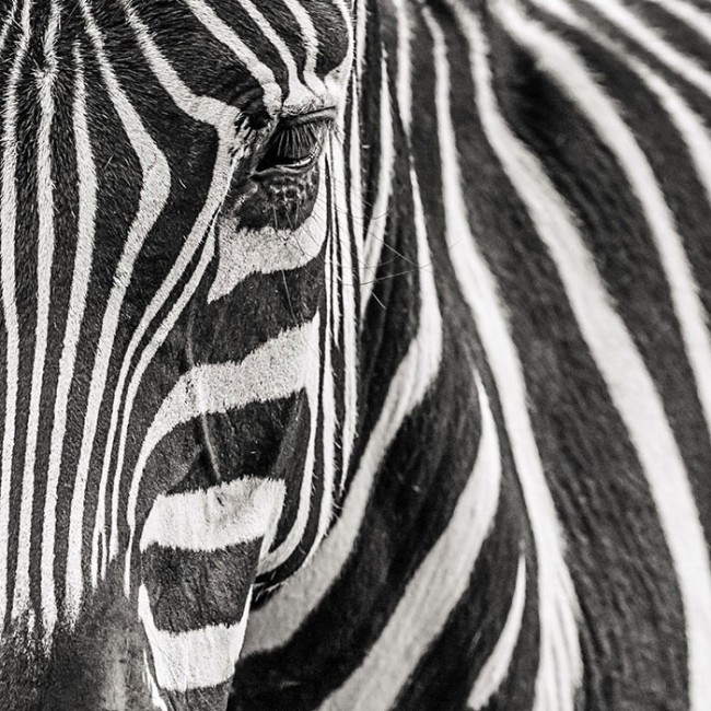 Design et contraste en d co murale noir et blanc for Deco murale zebre